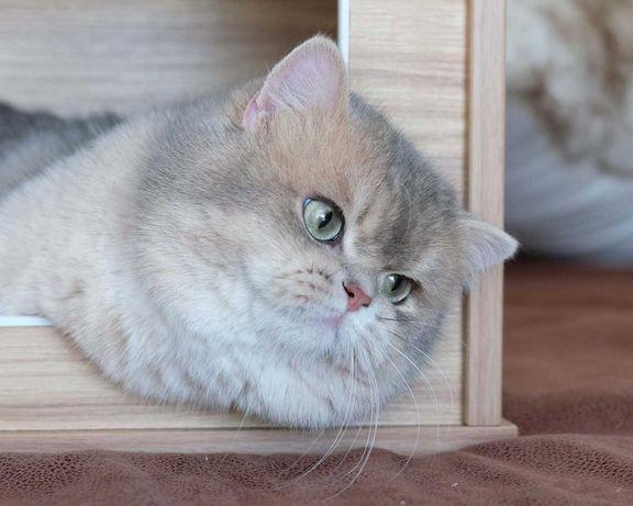Скоттиш страйт Кот приглашает на вязку.