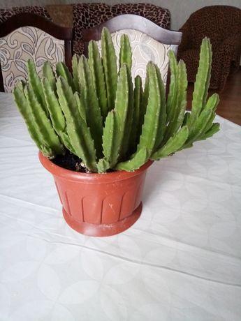 Вазон родини кактусових.