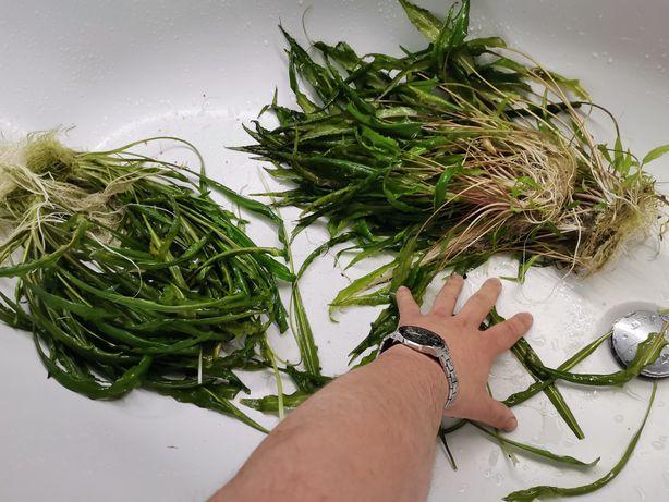 Rośliny akwariowe rarytasy