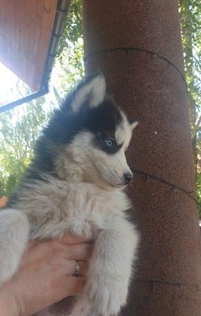 Husky owczarek pies psy suka suczki szczeniak szczeniaki
