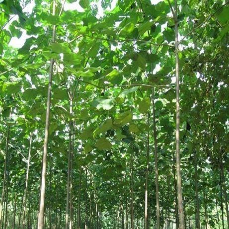 Arvore para produção de Madeira com Alto Rendimento