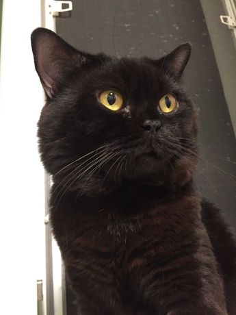 Шотландский кот Scottish Straight ждет встречи