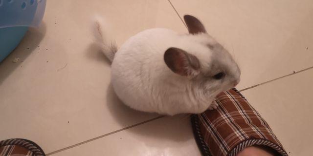 Szynszyla biała samiczka samczyk