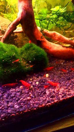 Krewetki red cherry