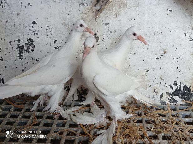Gołębie ozdobne bocian bociany