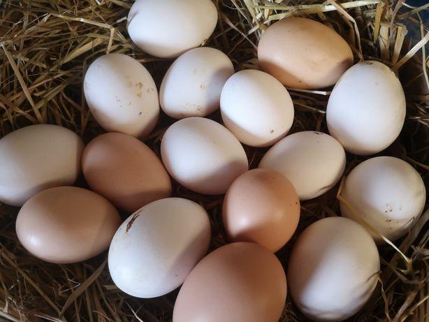 Ovos  para consumo.