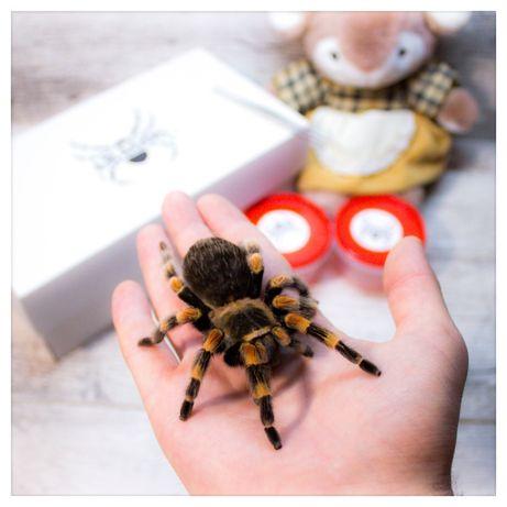 екзотичний птахоїд павук паук тарантул домашня тварина подарунок