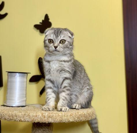 Шотландский полосатик котенок мальчик 3 мес, котята чистокровные