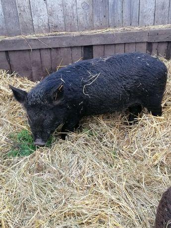Свині. Поросята породи мангал. Підсвинки