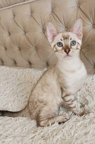 бенгальские котята - питомник