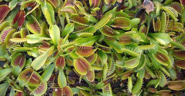 Dionaea muscipula. Muchołówka amerykańska.  NASIONA.