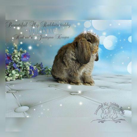 Mini lop królik hodowla