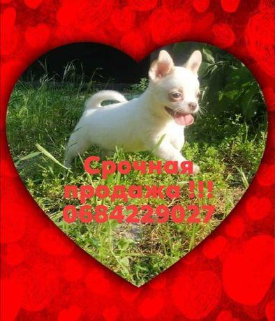 Срочная продажа щенка чихуахуа