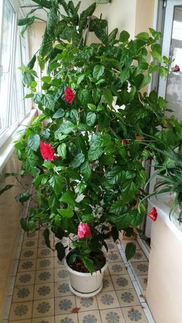 Гибискус махровый (роза комнатная) 1.5м