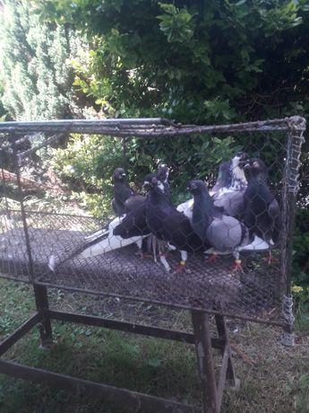 Gołębie roztoczańskie wysokolotne ok 100 sztuk