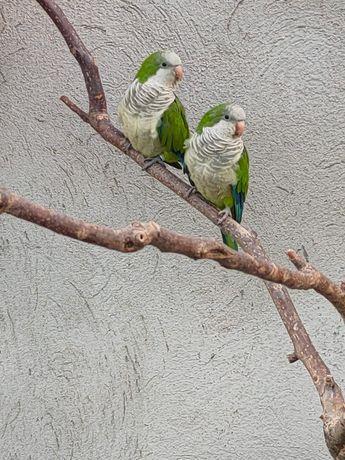 Sprzedam  papugi  zielone lęgowe