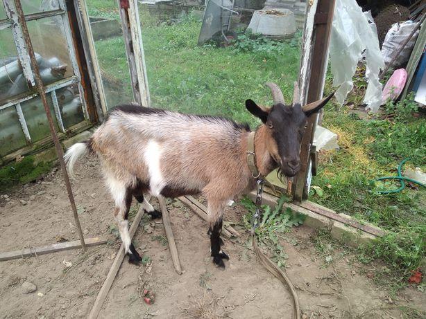 Продається молода коза (первістка)