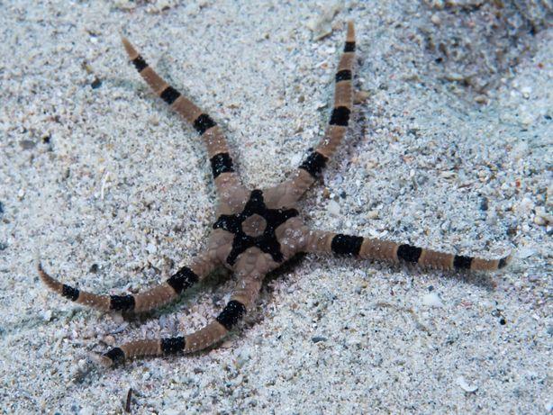 Morskie - Ophiolepis superba m
