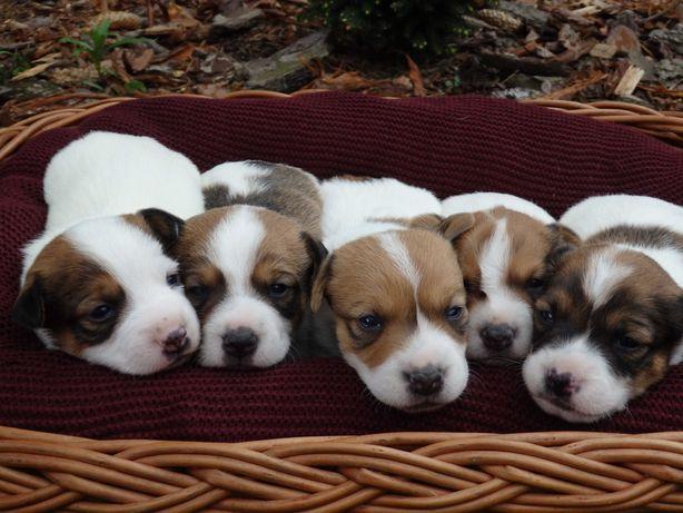 Jack Russell Terrier Pieski od S M A R T I E  J A C K S rezerwacja