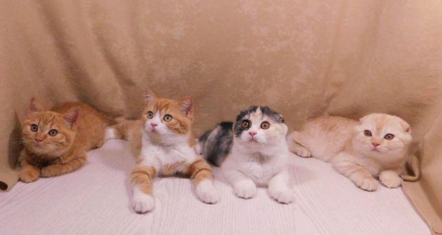Чирстокровные шотландские котята, привиты.