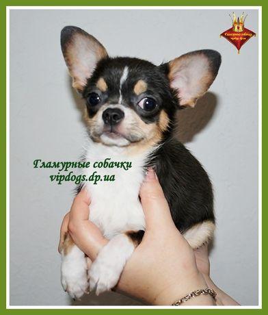 Чистокровный щенки чихуахуа. 6 гарантий+приданное+доставка. КСУ(FCI)