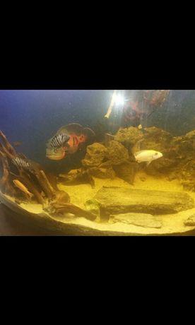 ryby pielegnice pyszczaki