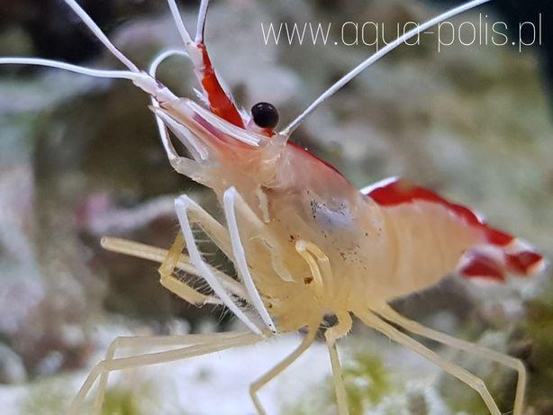 Lysmata amboinensis krewetka czyszcząca akwarium morskie