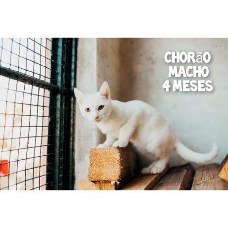 Chorão- gatinho bebé branco para adoção