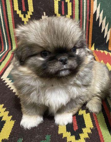 Продам щенят пекинеса