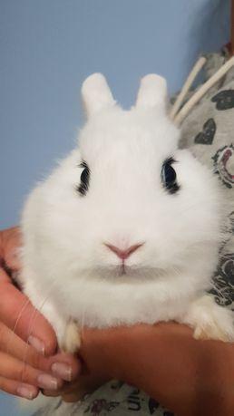 Декоративный мини кролик.