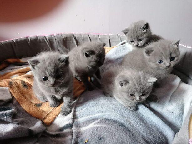 Koty brytyjskie-rezerwacja