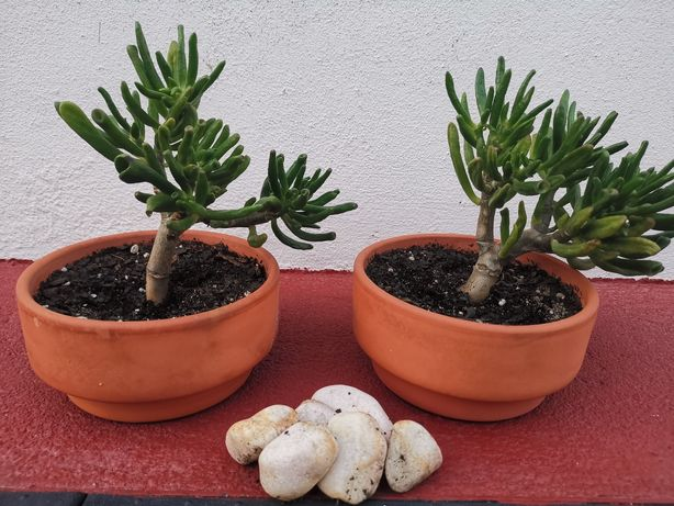 Suculenta orelha de shrek bonsai
