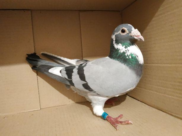 gołąb, gołębie, pocztowy