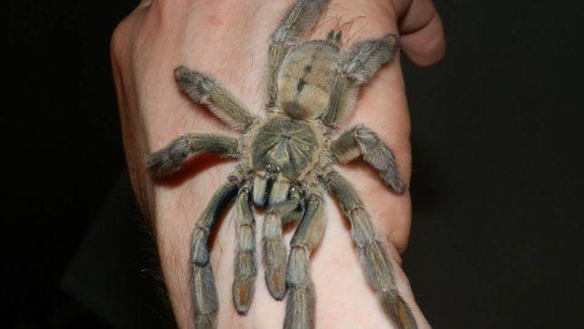 Psalmopoeus cambridgei L3 pająk ptasznik i dużo innych