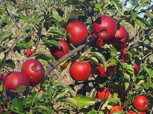 Продаю дуже смачні яблука Флоріна, Скіфське золото, Чемпіон