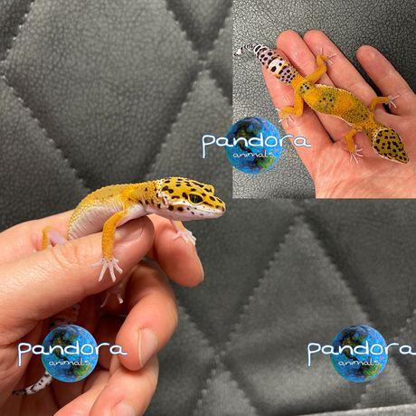Эублефар Леопардовый геккон Ящерица ручная Большой выбор !!!