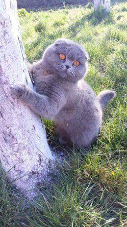 в'язка висловухий котик