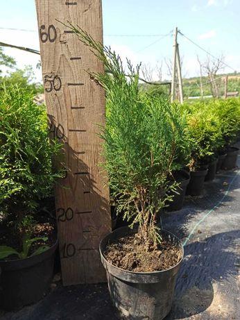 Ялівець козацький Tamariscifolia (можжевельник) 100грн. в горщику 5л