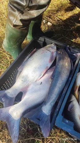 Живая товарная рыба,карп,толстолоб,двухлетка