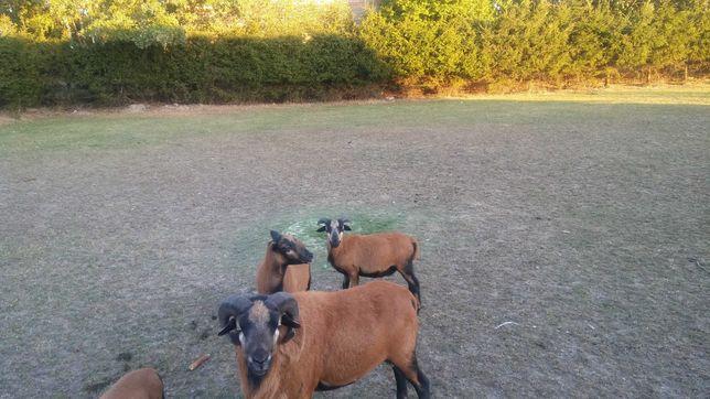 Owce kameruńskie -tryk