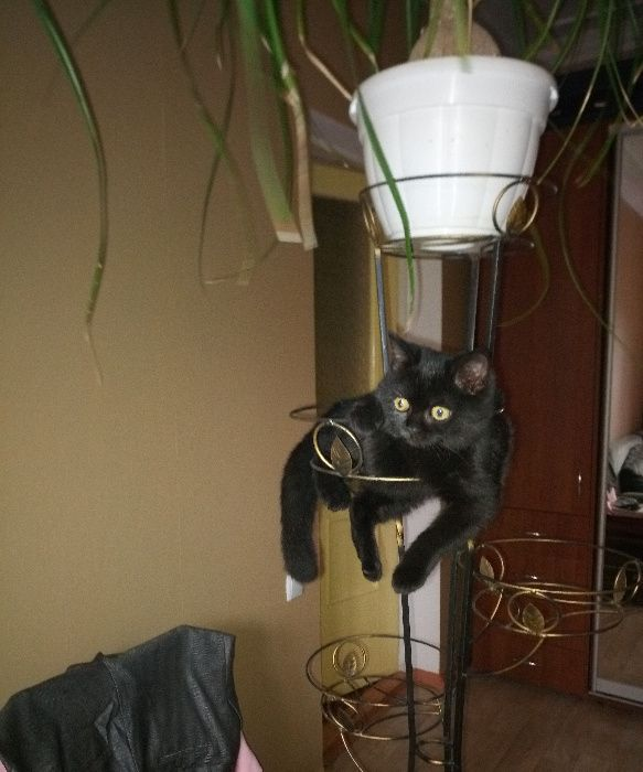 продам котят скотиш фолд Запорожье - изображение 1