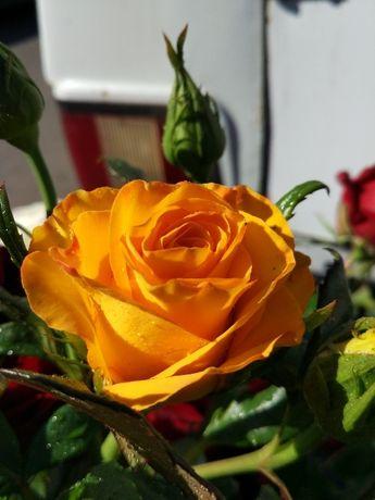 Продаю саженцы роз оптомЛЕТОМ -Осенью- Весной кусты роз большой аср.От