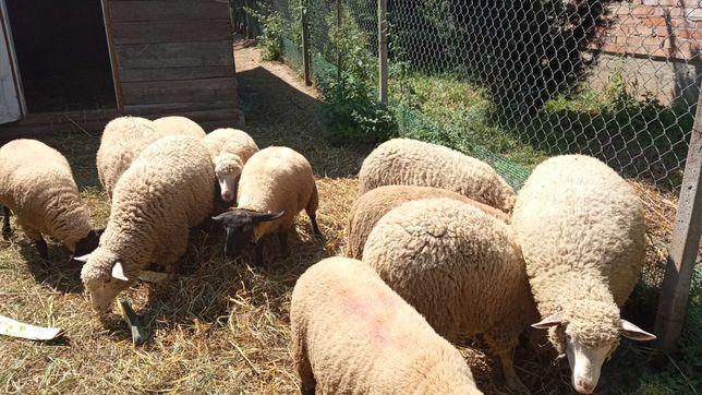 Sprzedam owce i tryka