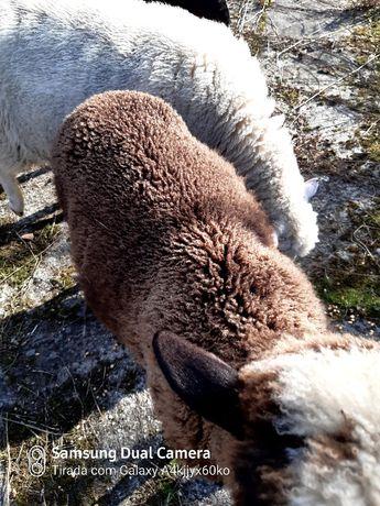 Vendo carneiro com 8 meses