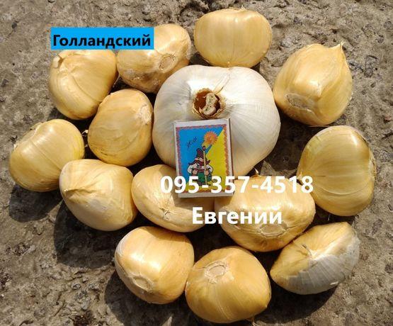 Рокамболь чеснок сорт Кипрский, Испанский, Голландский