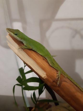 Anolis   zielony