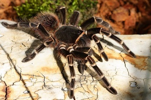 Acanthoscurria geniculata самка паука птицееда новичкам