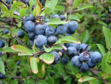 Owoce tarniny