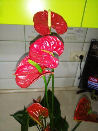 Антуриум красный,цветет