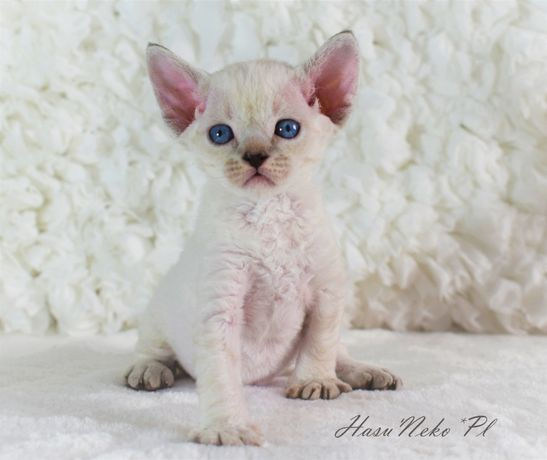 Śliczna kotka rasy Devon Rex z Hodowli Hasu'Neko*PL